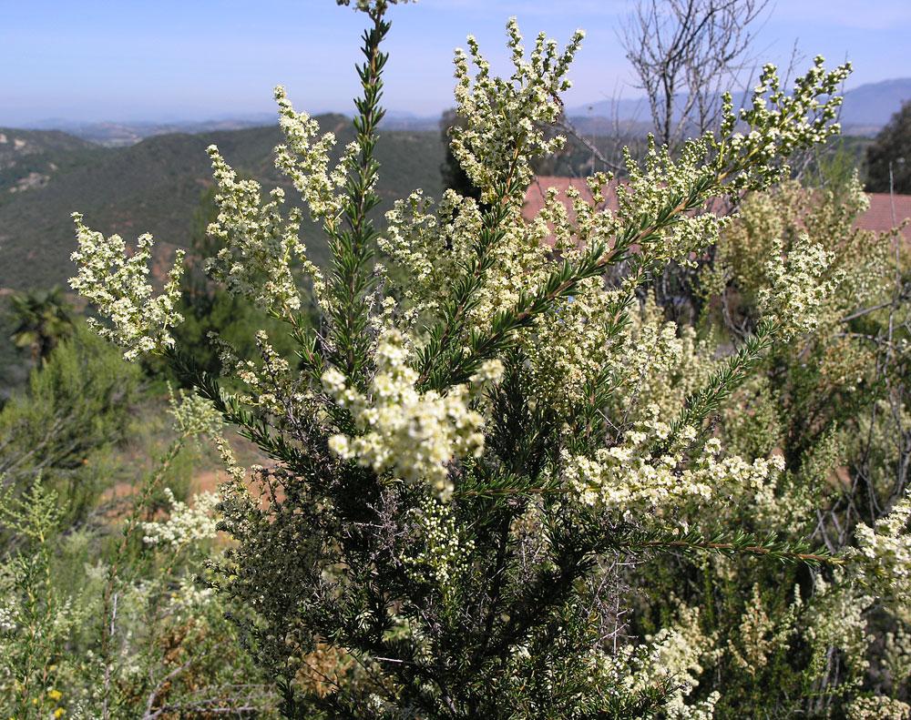 Mt Shasta Ca >> Adenostoma