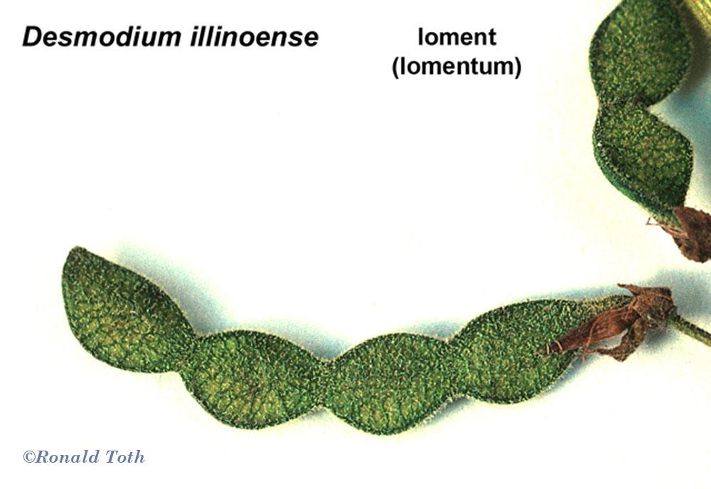 dehiscent fruits vs indehiscent fruits