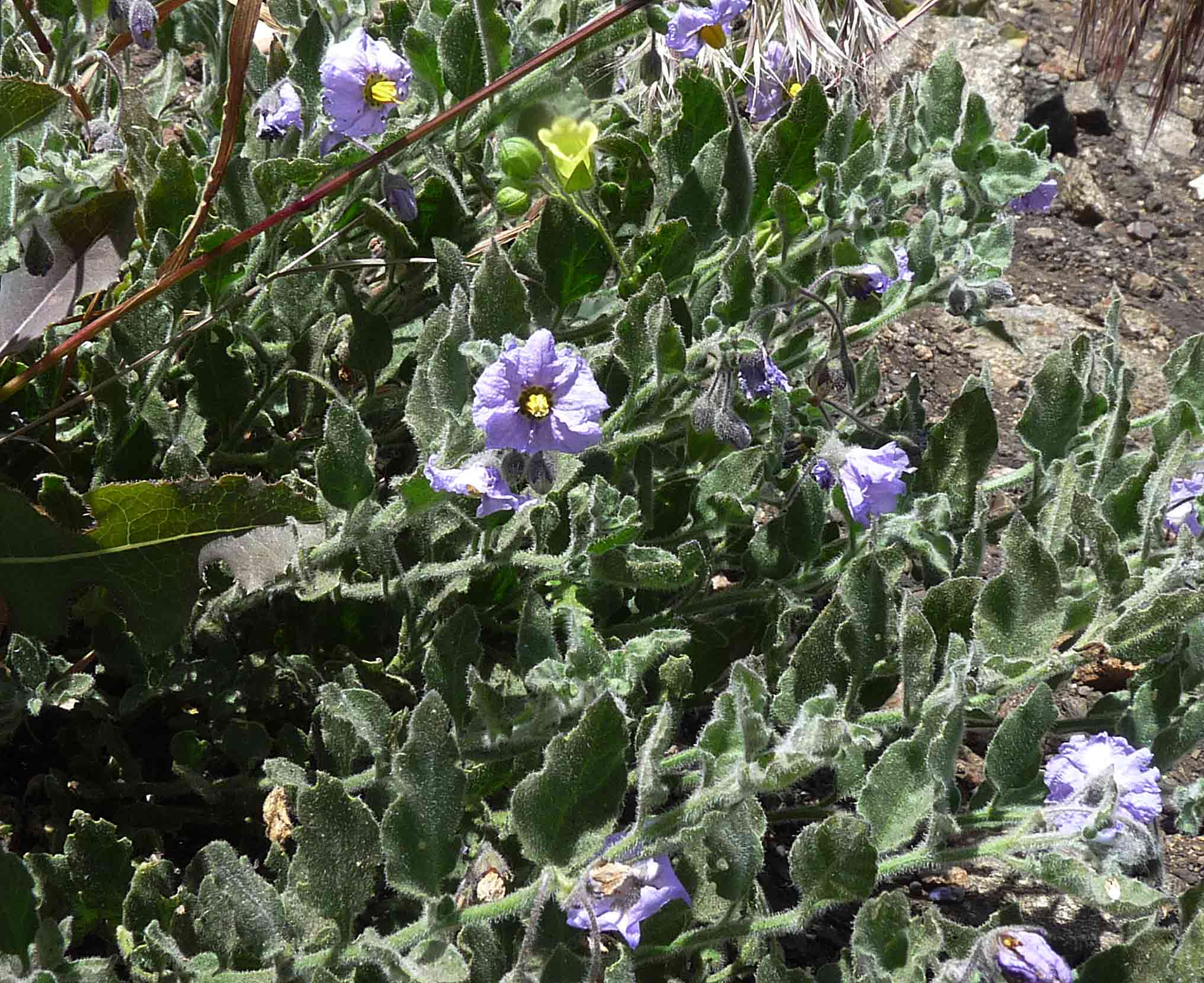 Purple Nightshade, Solanum xanti