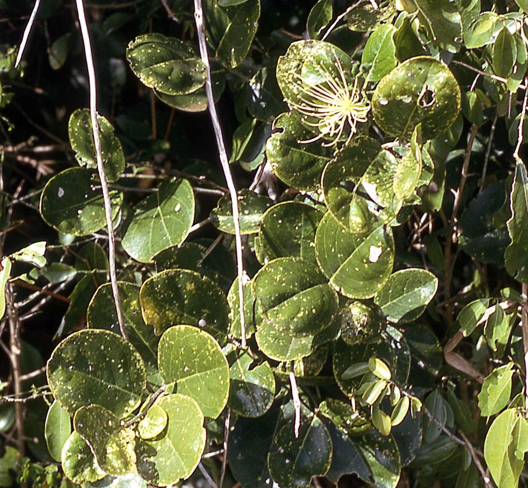 Syzygium Guineense Willd Dc